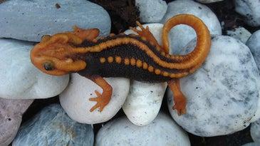 Klingon newt