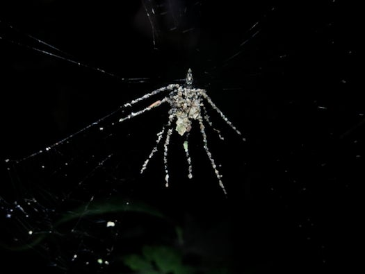 A Spider Builds Fake Spiders To Psych Out Predators