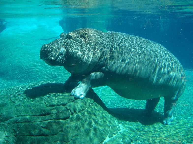 How To Castrate A Hippo