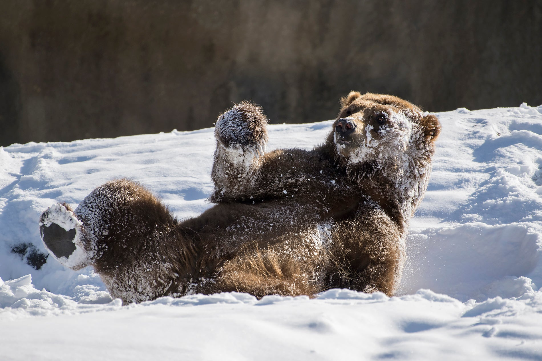 Delightful pictures of zoo animals playing in the snow