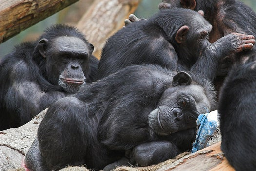 NIH Ends All Research On Chimps, Sending Last 300 To Sanctuary