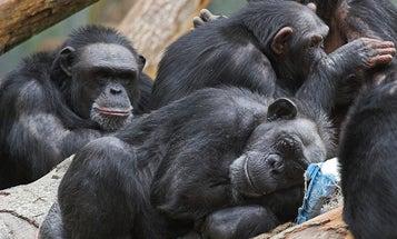 NIH Report Proposes Retiring Research Chimps