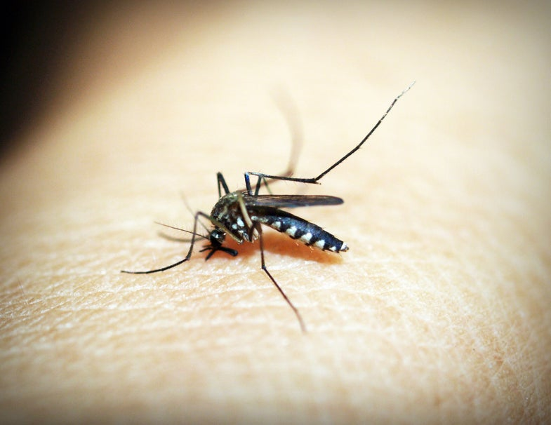 Genetically engineered bacteria—spread by mosquito sex—could spell the end of malaria