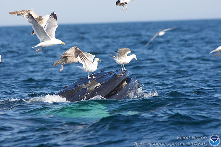 Seagulls landing on mouth of humpback whale