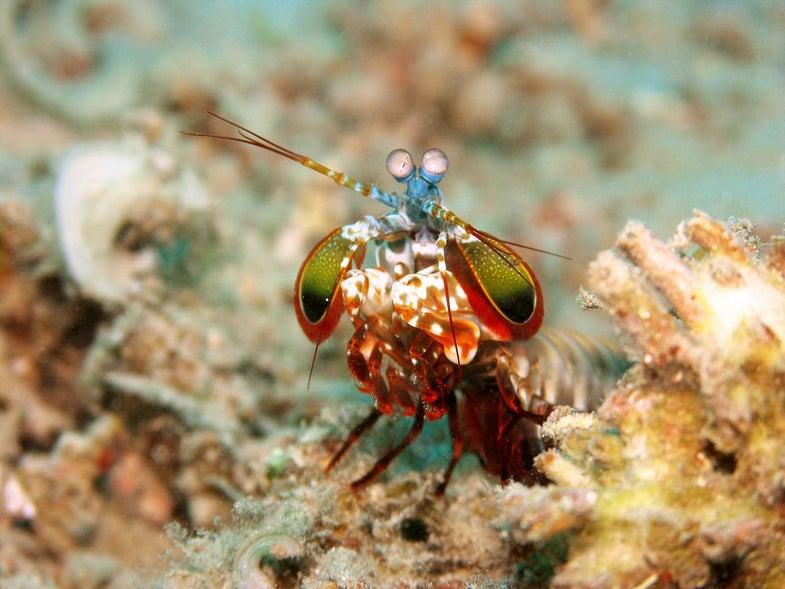 A Mantis Shrimp