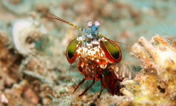 Armor Yourself In The Same Megatough Material As This Boxing Shrimp