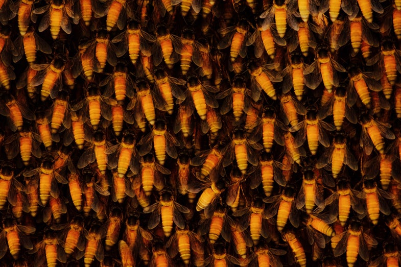 Giant honeybees 'shimmer' to keep colonies cool