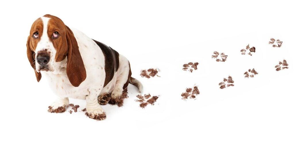 basset hound poop prints