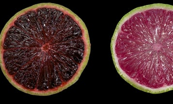 Genetically Modified Limes Are Purpler and More Healthful