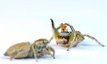 These male jumping spiders evolved dance moves because the ladies ignore them