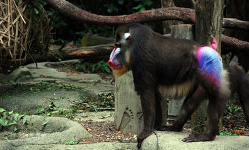 Why Are Monkey Butts So Colorful?