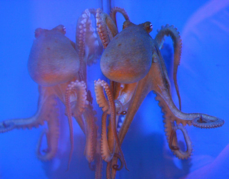 First Octopus Genome Sequence Reveals Clues About Camouflage And Big Brains