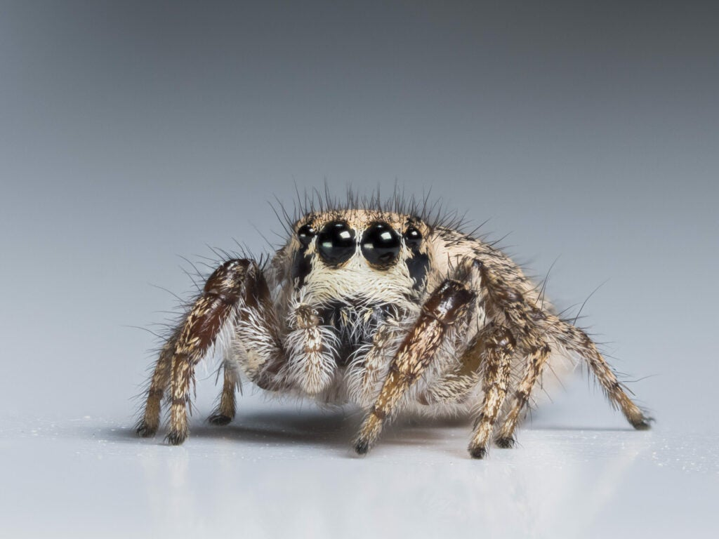 """""""Hairy-jumping-spider"""""""