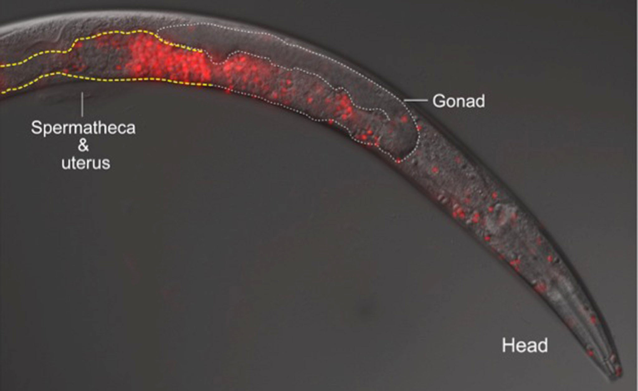 Killer Sperm Violently Prevents Worms From Interbreeding
