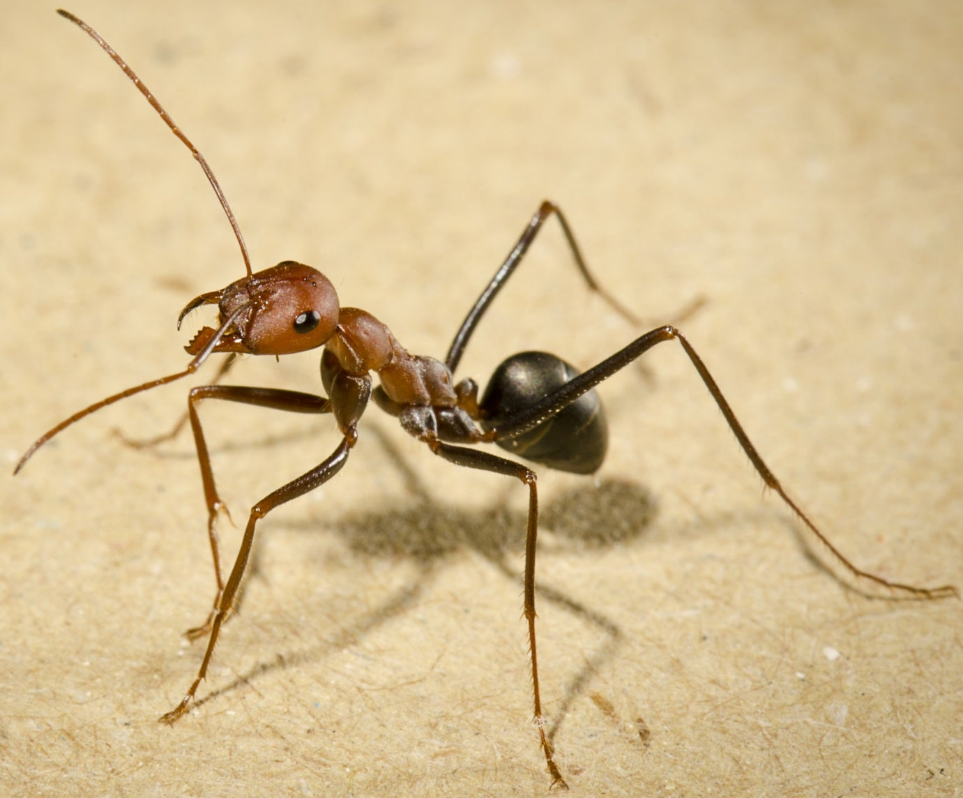 Ants can find their way home walking backwards, but they have to peek first