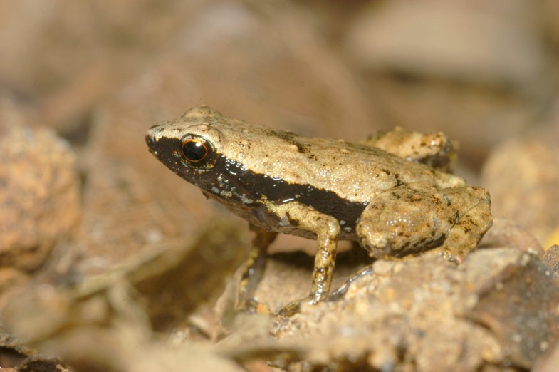 This Weird Tiny Frog Hears With Its Mouth