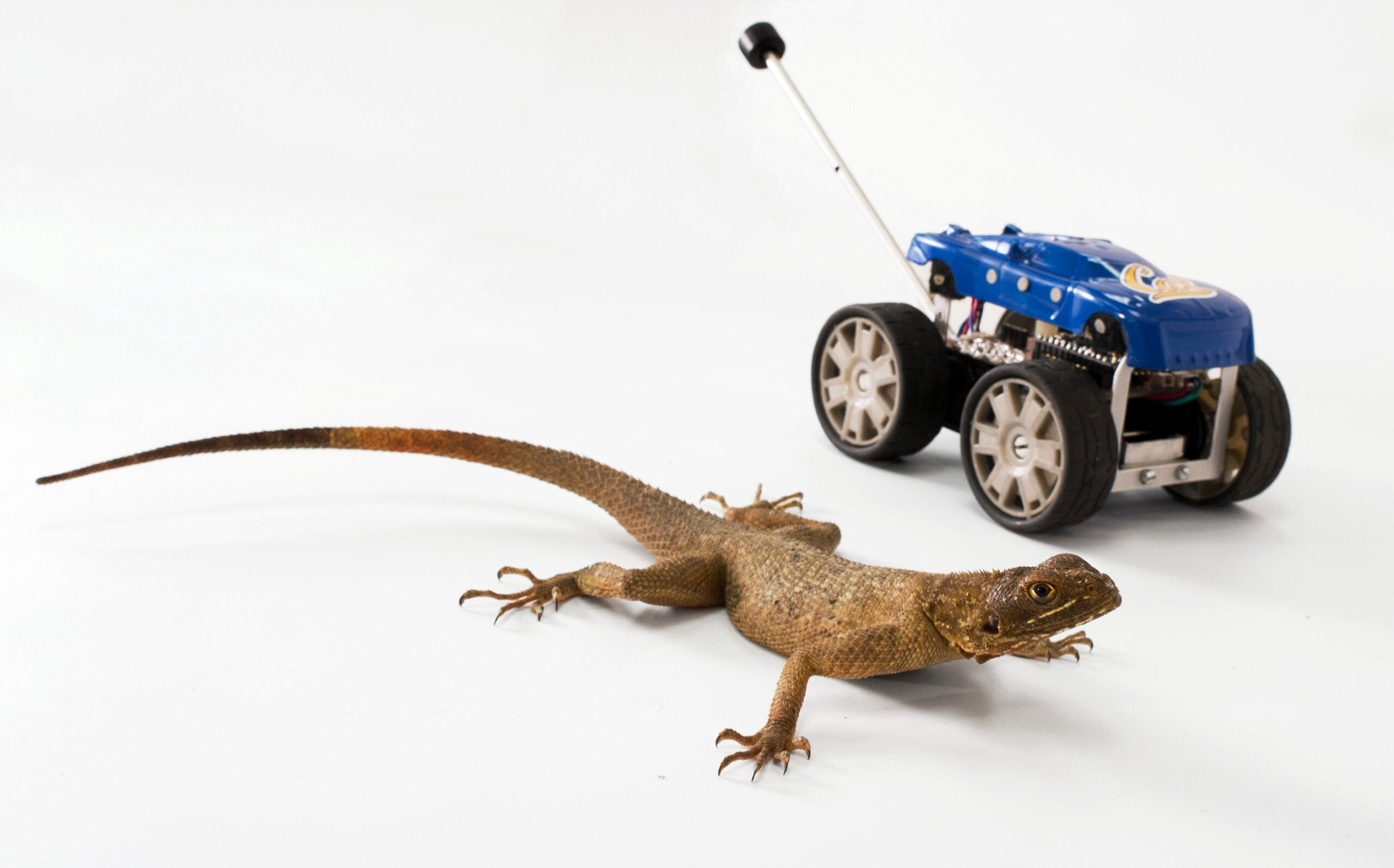 Video: Leaping Lizards' Helpful Tails Inspire New Robot Design