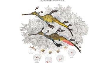 The Seadragon Life Cycle In One Beautiful Image