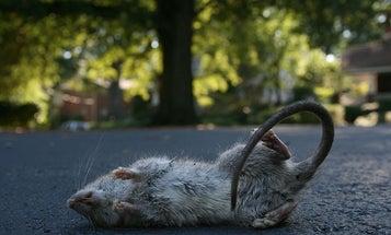 Spies Hid Messages Inside Dead Rats