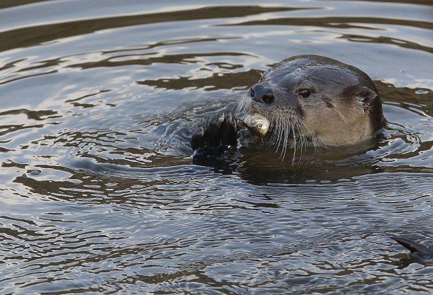 Meet San Francisco's Only Resident River Otter
