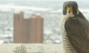 New Webcam Lets You Spy On Peregrine Falcons In Downtown Baltimore