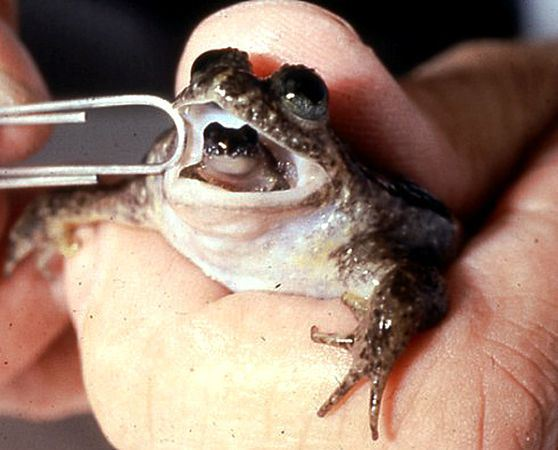 Scientists Resurrect Bonkers Extinct Frog That Gives Birth Through Its Mouth