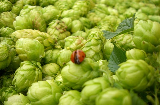 BeerSci: Want To Wet-Hop Your Beer? Grow Your Own Fresh Hops