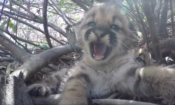 Meet The New Mountain Lion Kittens Living It Up Outside Los Angeles