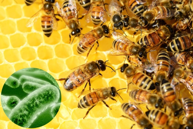 The Bacteria in Bees Give Honey Its Healing Properties