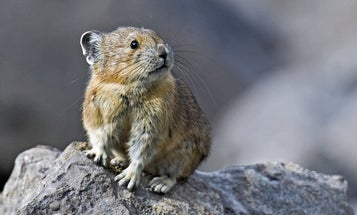 The Small, Furry Pika Is Losing Its Habitat To Climate Change