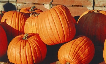 Domestication Saved Pumpkins And Squash From Extinction
