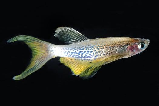 Will This Fish Transform Medicine?