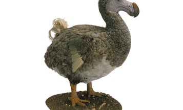 Dodos Were Actually Not That Dumb