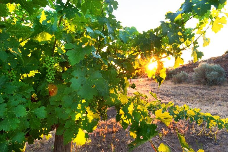 Drought Has Washington Wineries Forecasting A Lush Future