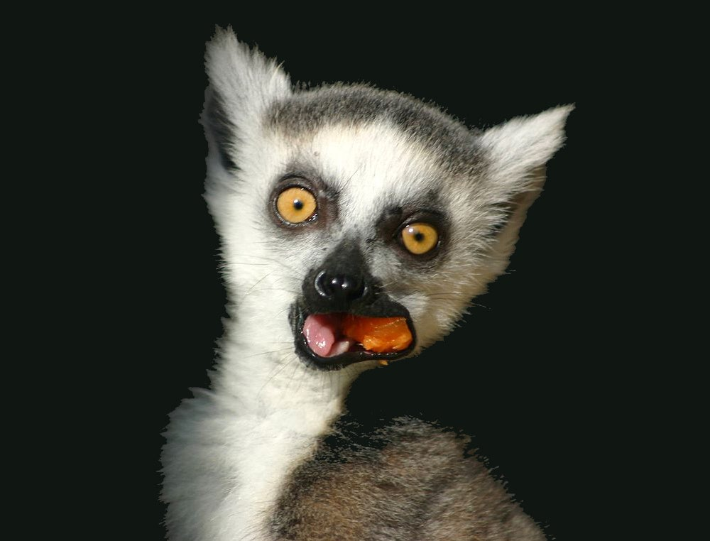 Adorable Lemur Babies Fare Better If They Go To Kindergarten
