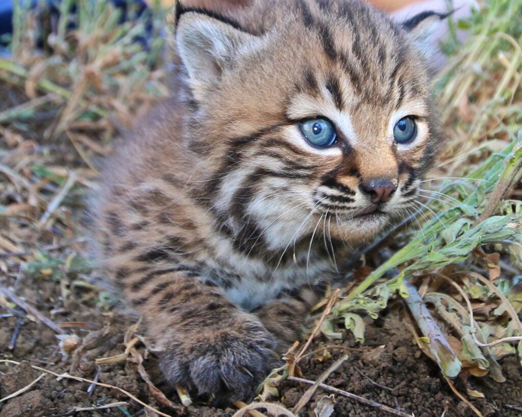 """Bobcat"