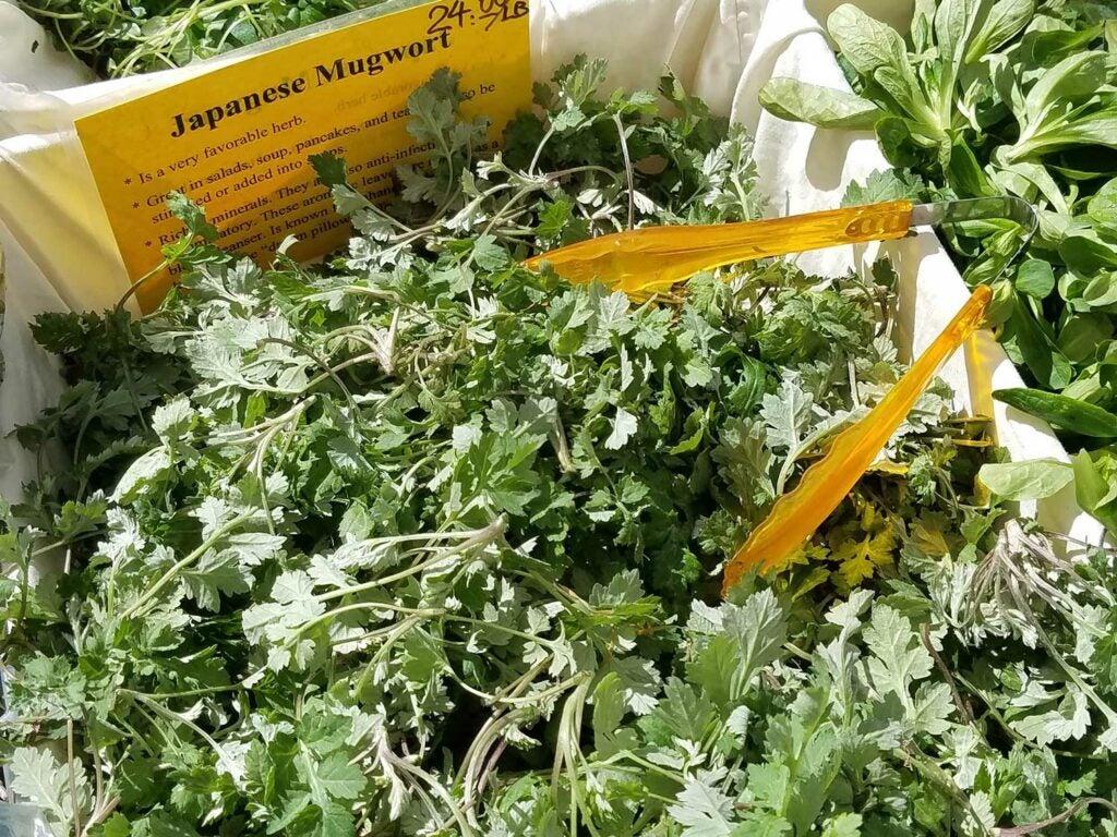 Mugwort, *Artemisia vulgaris*