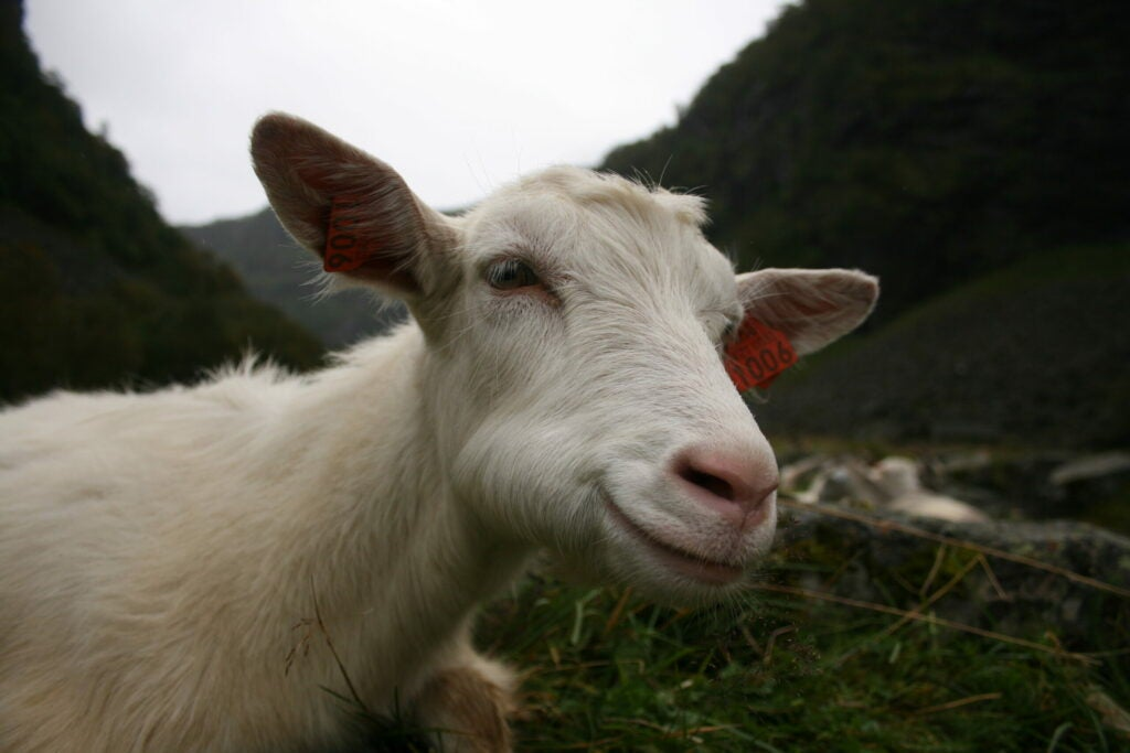 Wild goats and transgenic goats are indistinguishable. This is just a normal smiling goat.