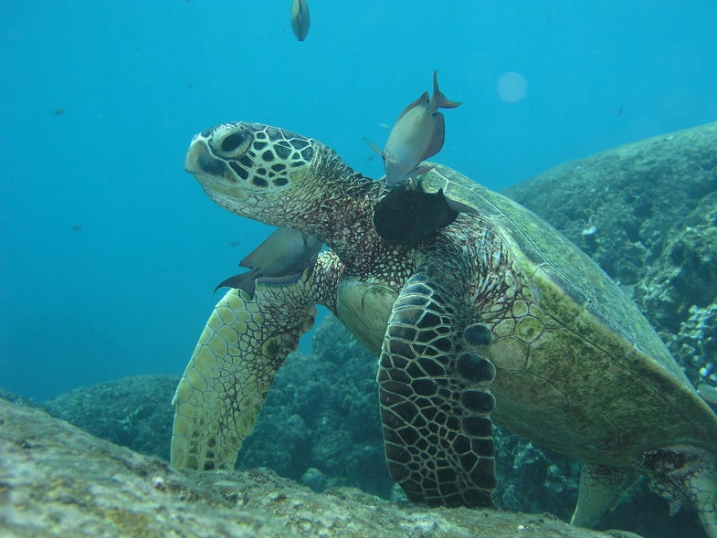 Growing skin in a lab has benefits for humans and turtles alike