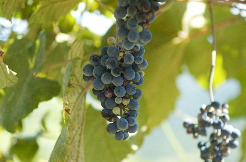 """Grapes"