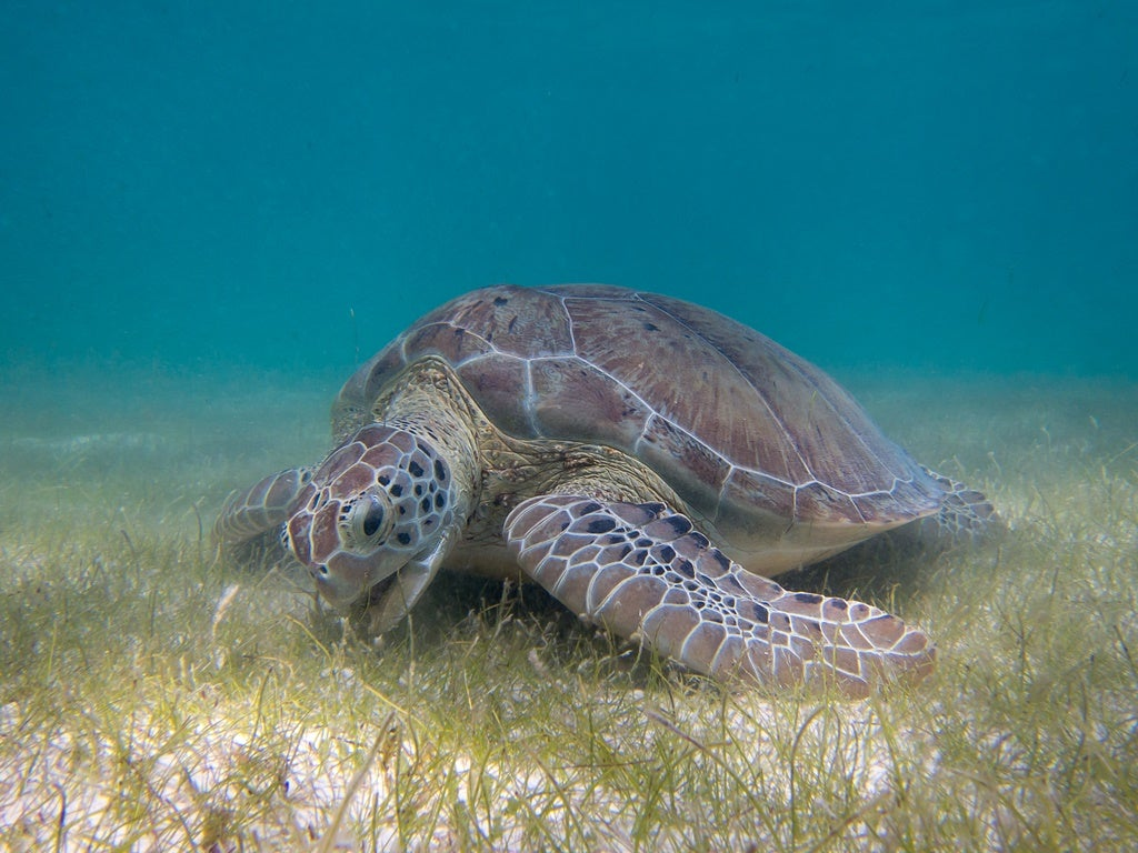 Another Reason Not To Eat Sea Turtles: Antibiotic-Resistant Bacteria