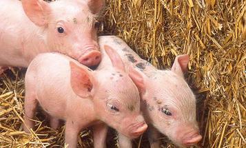 China Makes Clones Of Super-Swine That Survived '08 Quake