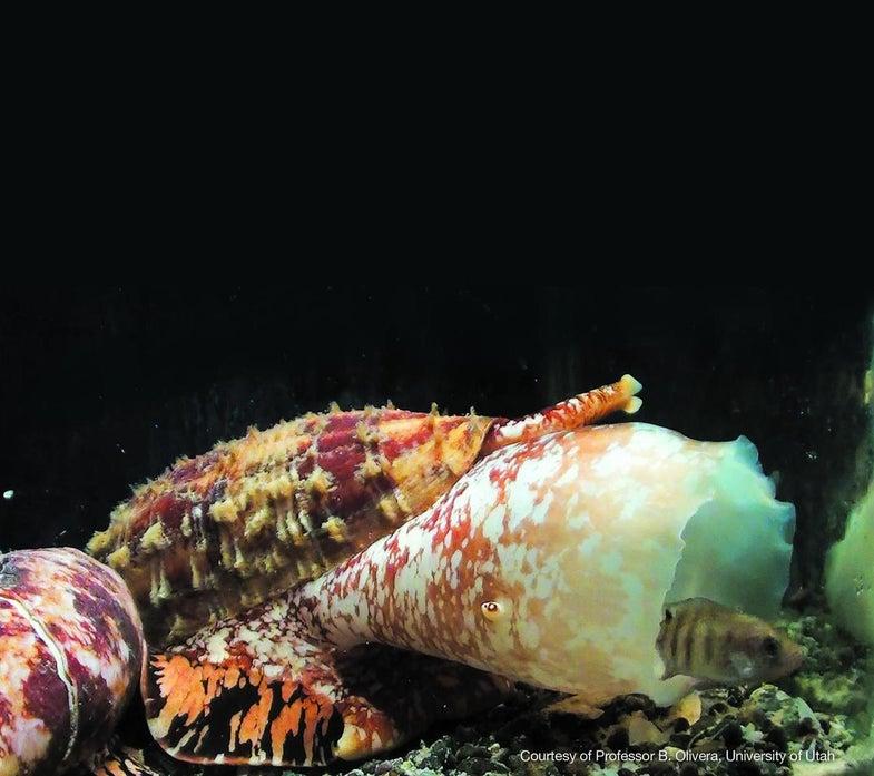 Cone Snail Venom Could Help Create Speedy Diabetes Treatments