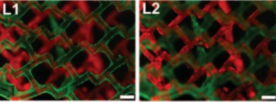 Synthetic Heart Tissue Sticks Like Velcro