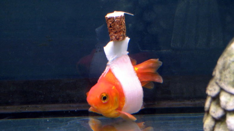How To Fix A Goldfish