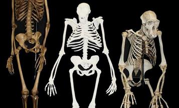 Human Ancestor Reconstructed, Halfway Between Chimp And Human