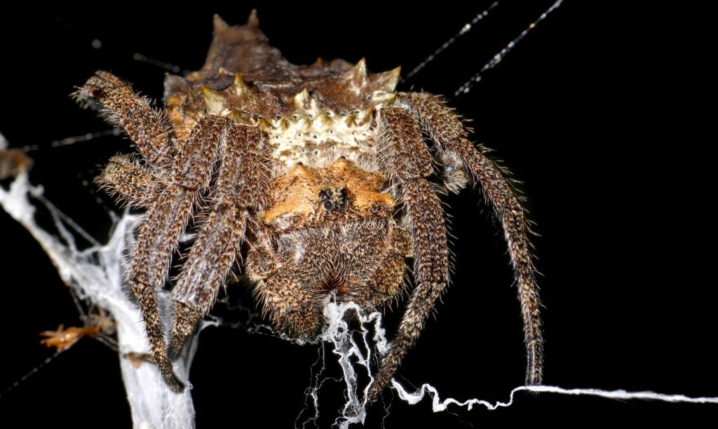 The bark spider produces the strongest silk in the world.