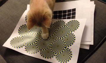 Watch This Cat Play With An Optical Illusion [Video]