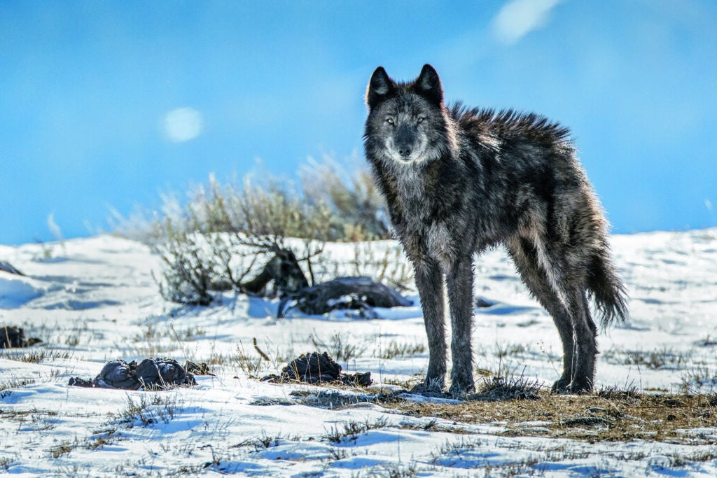 No longer lone, an adopted member of the Phantom Springs wolf pack stands tall in Grand Teton National Park. After an absence of about 70 years, wolves returned to the park in 1998, moving down from Y