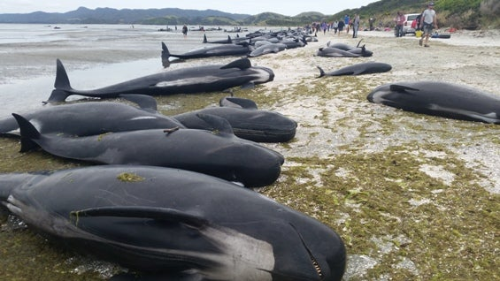 How New Zealand is avoiding hundreds of exploding whale corpses
